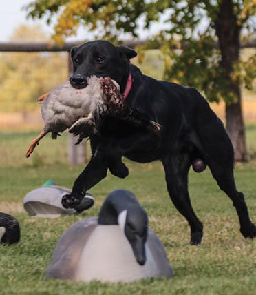 Dog with game in its mouth
