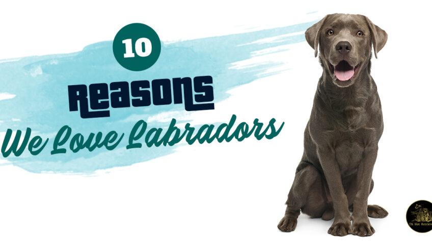 10 Reasons We Love Labradors