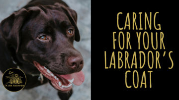 Caring for Your Labrador's Coat