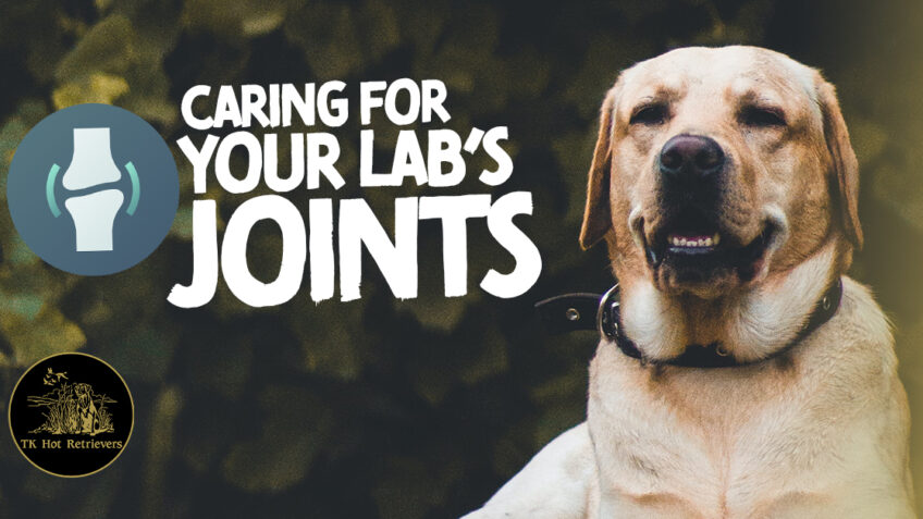 Caring For Your Labs Joints with Supplements