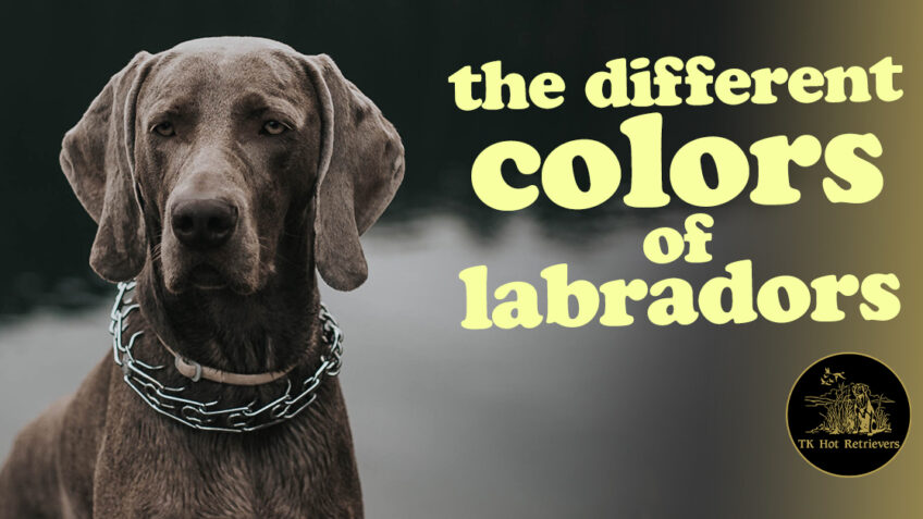 The Different Colors of Labradors