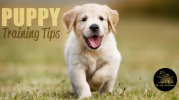 Hunting puppy training tips.