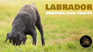 Hunting Dog Traits Found in Labs