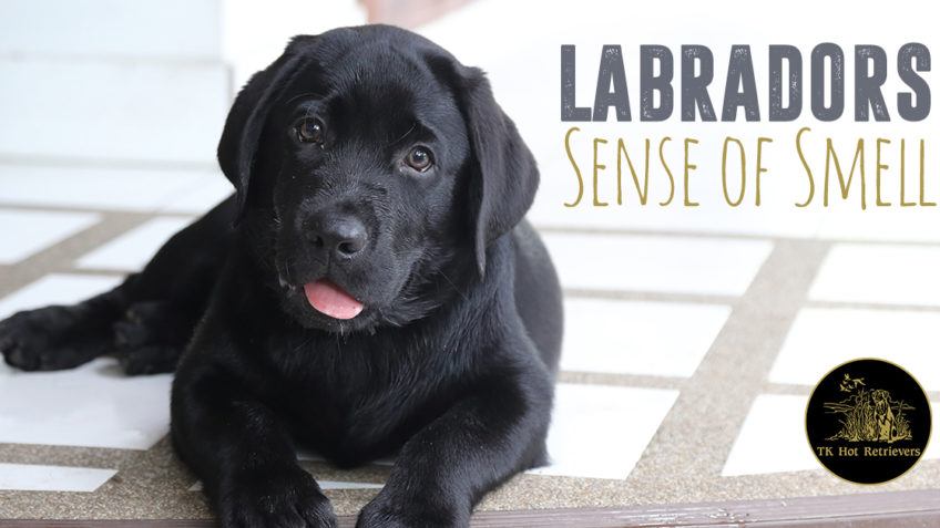 Labradors sense of smell.