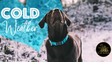 Why Labs Love the Cold Weather