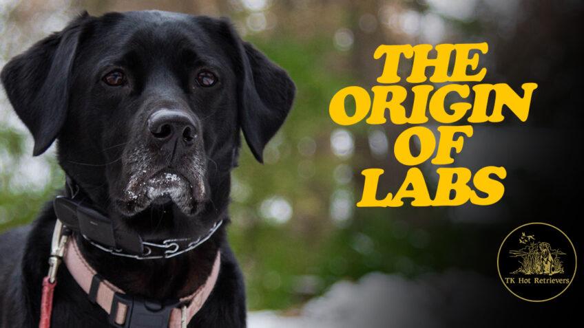 The Origin of Labrador Retrievers
