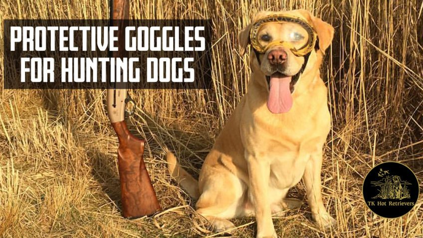Protective goggles for hunting dogs.