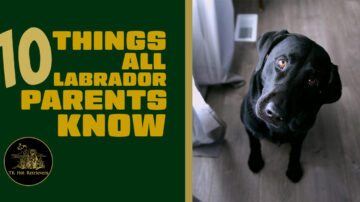 10 Things All Labrador Parents Know