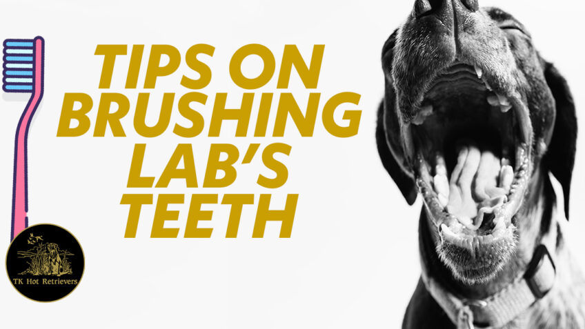 Tips for Brushing Labs Teeth